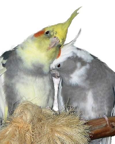 Birds For Sale | Exotic Birds | Buy Birds Online | Pet Birds For Sale