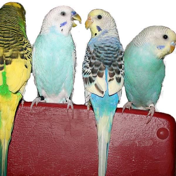 Adult Parakeet