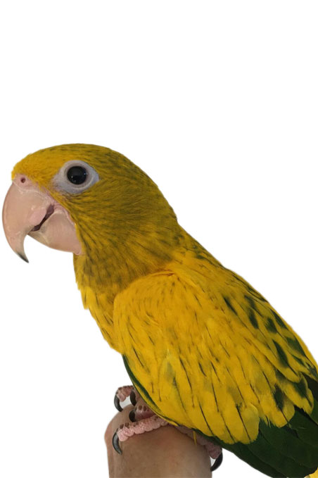 Golden Conure : image 1