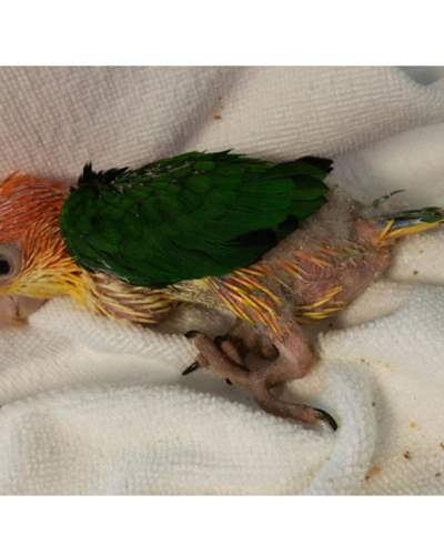 Parrots For Sale | Hand Fed Baby Parrots For Sale
