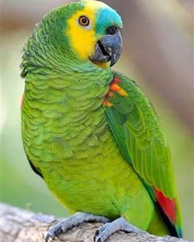 Birds For Sale | Exotic Birds | Buy Birds Online | Pet Birds