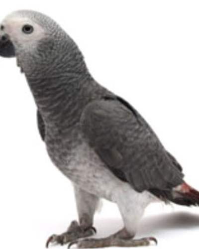 Exotic Birds For Sale >> Birds For Sale Exotic Birds Buy Birds Online Pet Birds For Sale