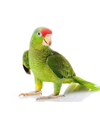 Cherry Head Conure