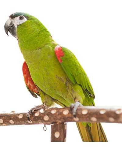 Parrots For Sale   Hand Fed Baby Parrots For Sale