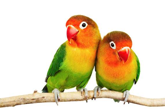Handfed Love Bird : image 1