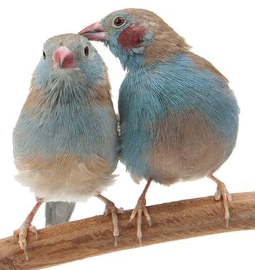 Red Cheek Cordon Bleu  : image 1