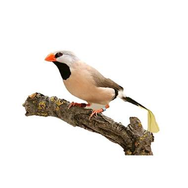 Shaftail Finch : image 1