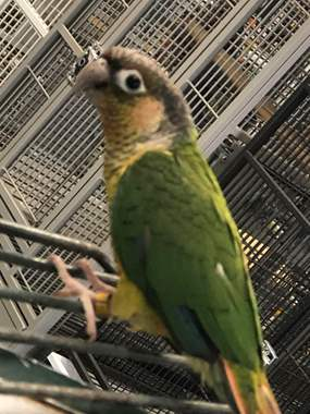 Conure Normal Green Cheek : image 1