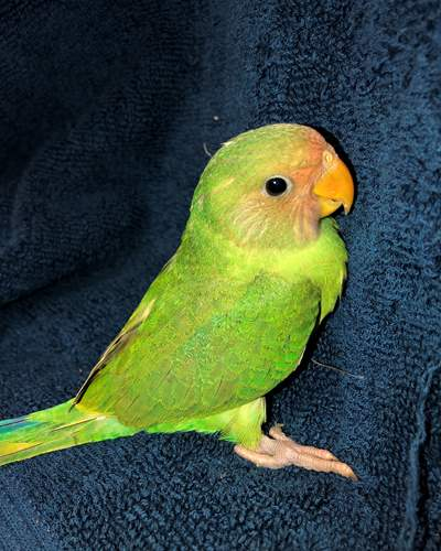 Birds For Sale | Exotic Birds | Buy Birds Online | Pet Birds