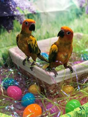 Sun Conure Normal and jendays : image 1