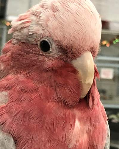 Rose-Breasted Cockatoo